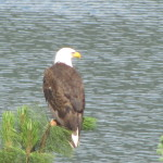 eagle on Whitefish Lake